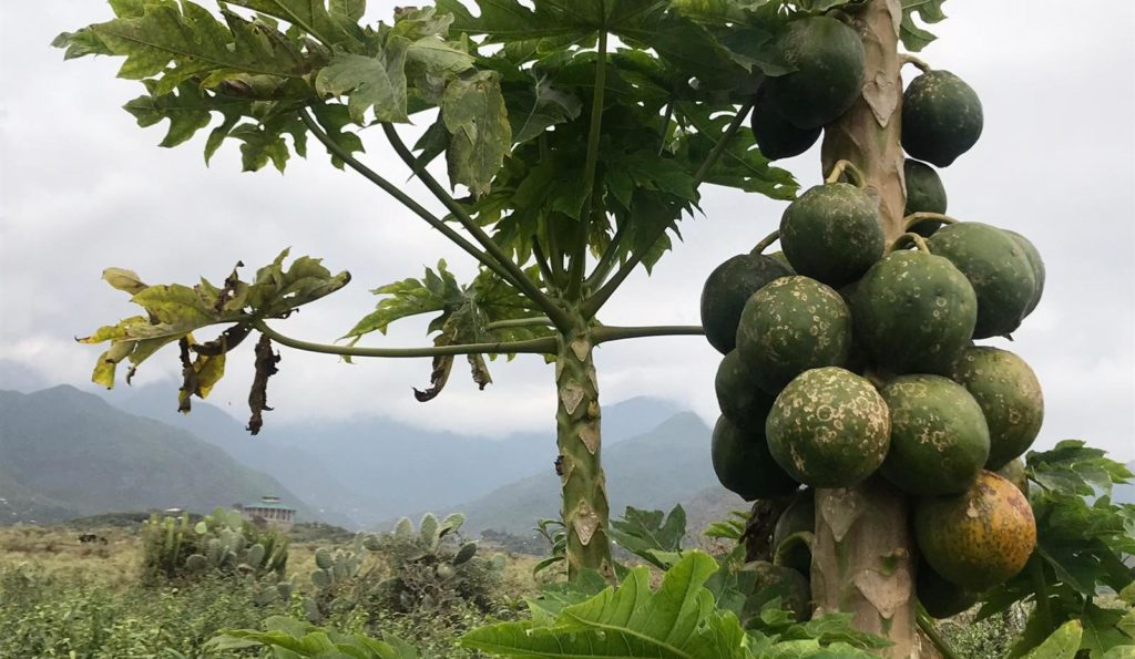 Arla and partners will reduce malnutrition with a dried papaya snack